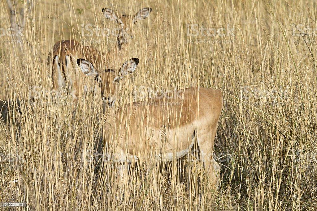 Female impala hiding, Moremi National Park, Botswana stock photo