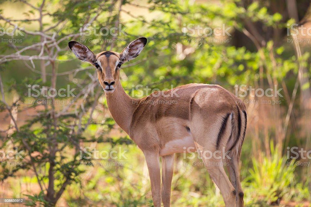 Female Impala stock photo