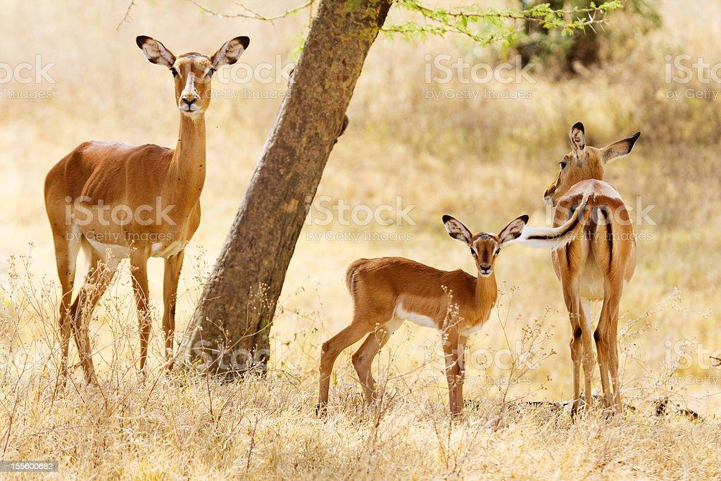 Female Impalas royalty-free stock photo