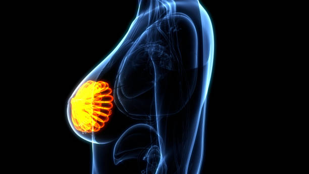 organes internes féminins mammary glands anatomie - sternum photos et images de collection