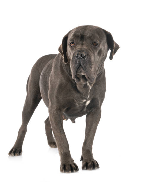 female  italian mastiff female  italian mastiff in front of white background cane corso stock pictures, royalty-free photos & images