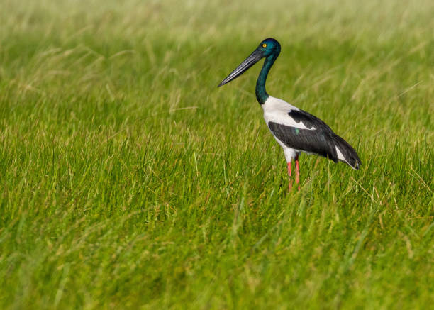 female jabiru or black-necked stork, standing in reeds on a flood plain, nt, australia - janet k scott stock pictures, royalty-free photos & images