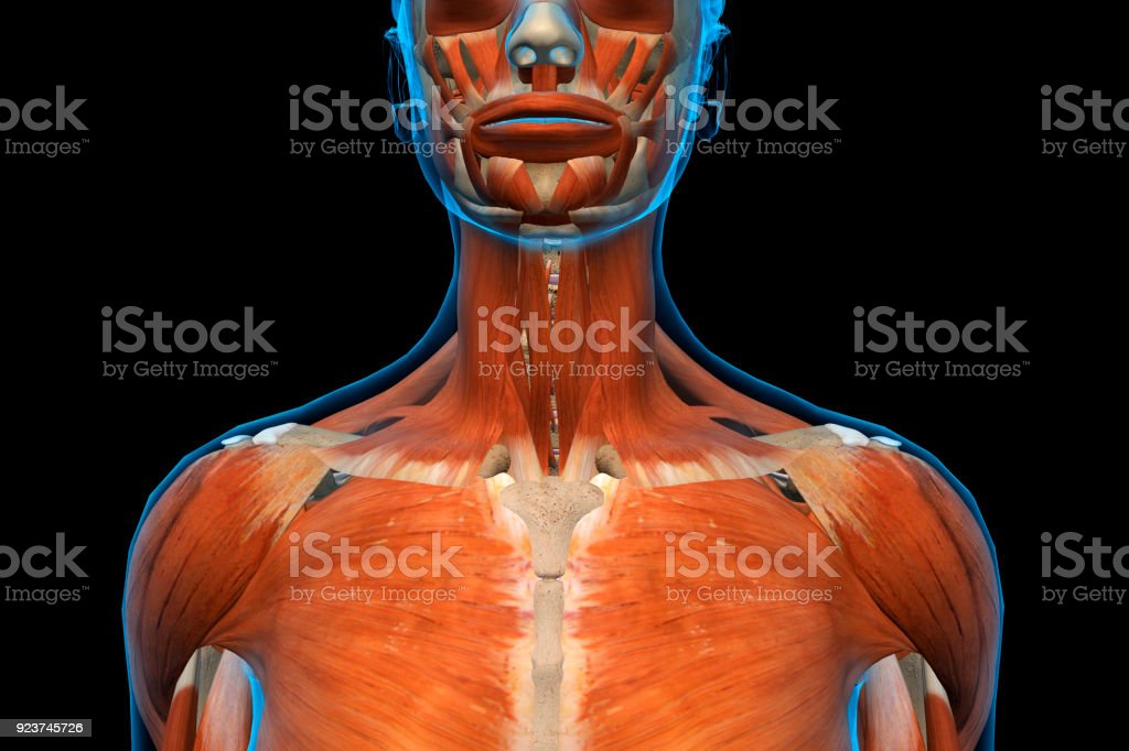 Female Jaw Neck And Shoulder Muscles Front View Stock Photo More