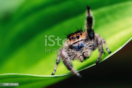 Female jumping spider (Phidippus regius) crawling on green. Macro, big eyes, sharp details. Beautiful big eyes and big fangs.