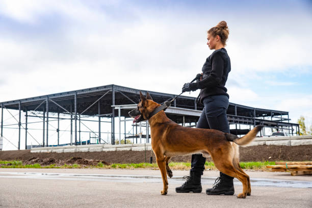 A female K-9 security professional with a Belgian Malinois on guard. stock photo