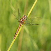 The Keeled Skimmer is a dragonfly of heaths and commons with shallow pools. It has a skittish and weak flight, and is on the wing in summer and early autumn