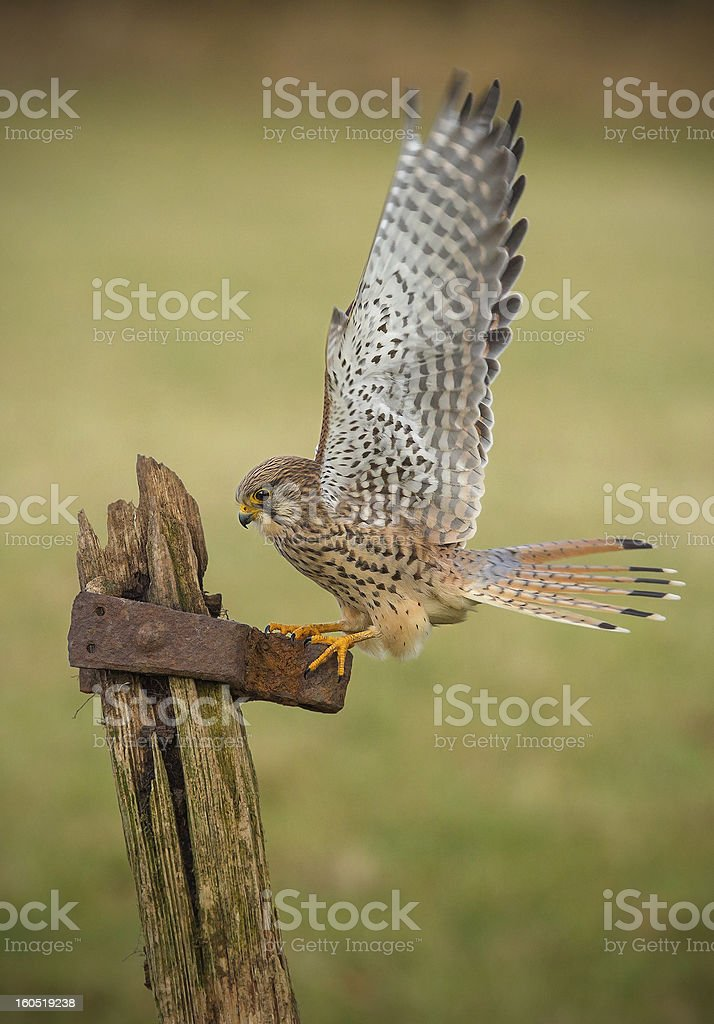 Female kestrel on old textured gate post royalty-free stock photo