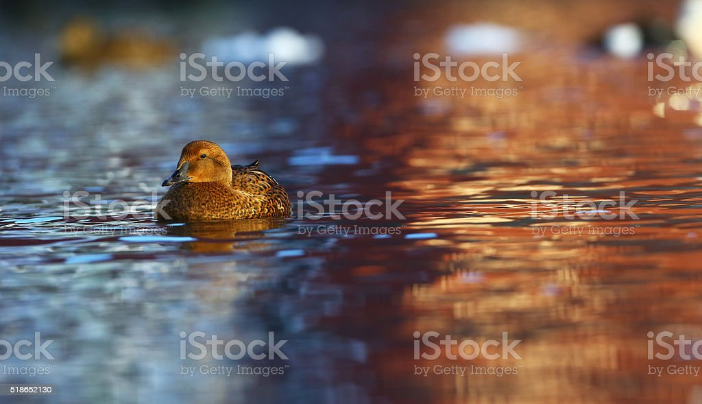 Female King eider stock photo
