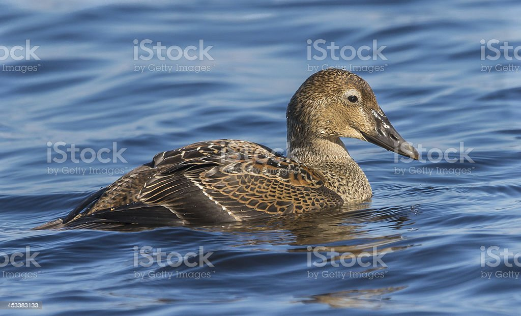 Female King Eider Swimming stock photo