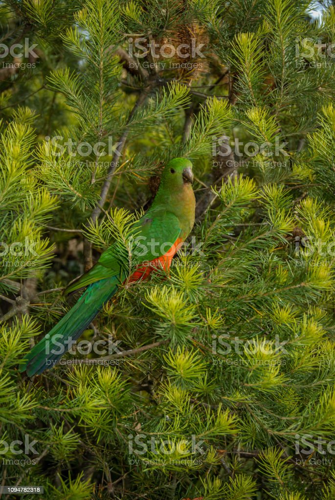 Female King Parrot, Alisterus scapularis, perched in Hairpin Banksia bush, Banksia Spinulosa, New South Wales, Australia stock photo