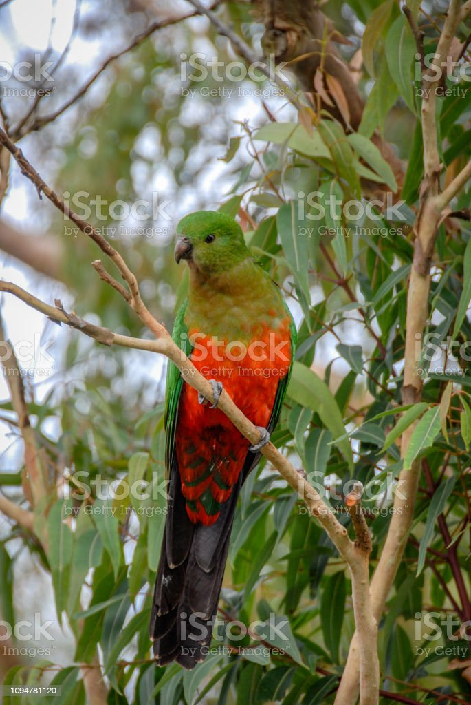 Female King Parrot, Alisterus scapularis, perched in tree, New South Wales, Australia stock photo