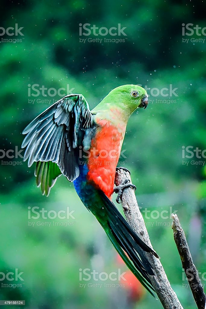 Female King Parrot with outstretched wings stock photo