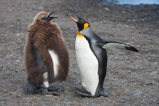 Female King penguin communicating with chicken South Georgia stock photo
