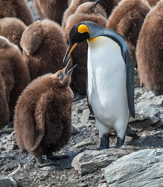 Female King penguin feeding her chick in South Georgia stock photo