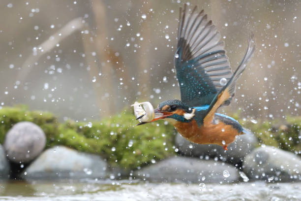 pêche de kingfisher femelle - martin pêcheur photos et images de collection
