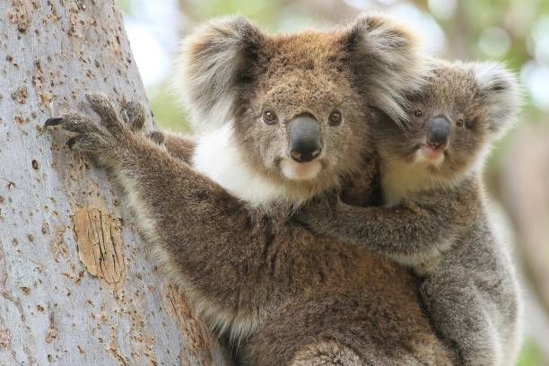 Female koala with young joey on her back. Close up of a female koala carrying a young joey up a eucalyptus tree on Raymond Island in Gippsland Australia. koala stock pictures, royalty-free photos & images