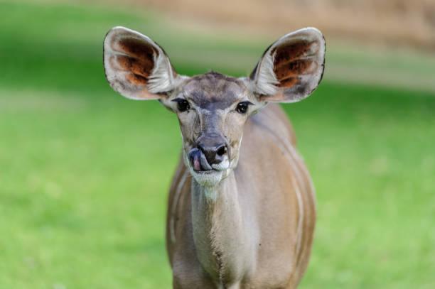 Female Kudu Antelope in National Park stock photo