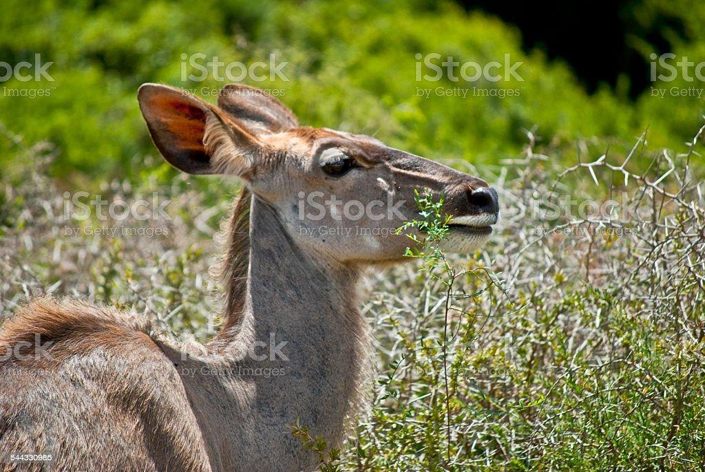 Female kudu antelope stock photo