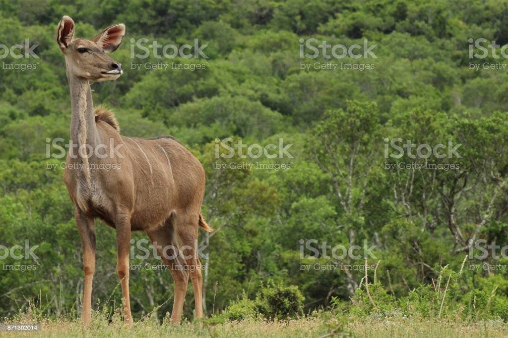 A female Kudu (Tragelaphus strepsiceros) in the Addo Elephant National Park near Port Elizabeth, South Africa. stock photo