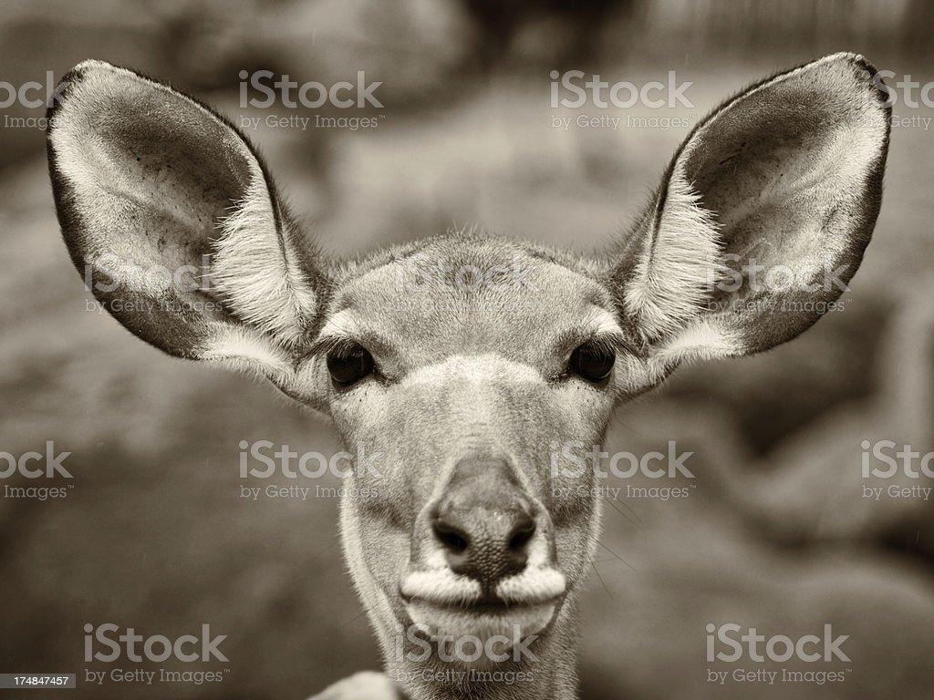female kudu royalty-free stock photo