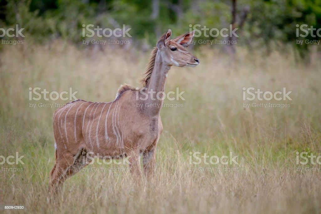 Female Kudu standing in the grass. stock photo
