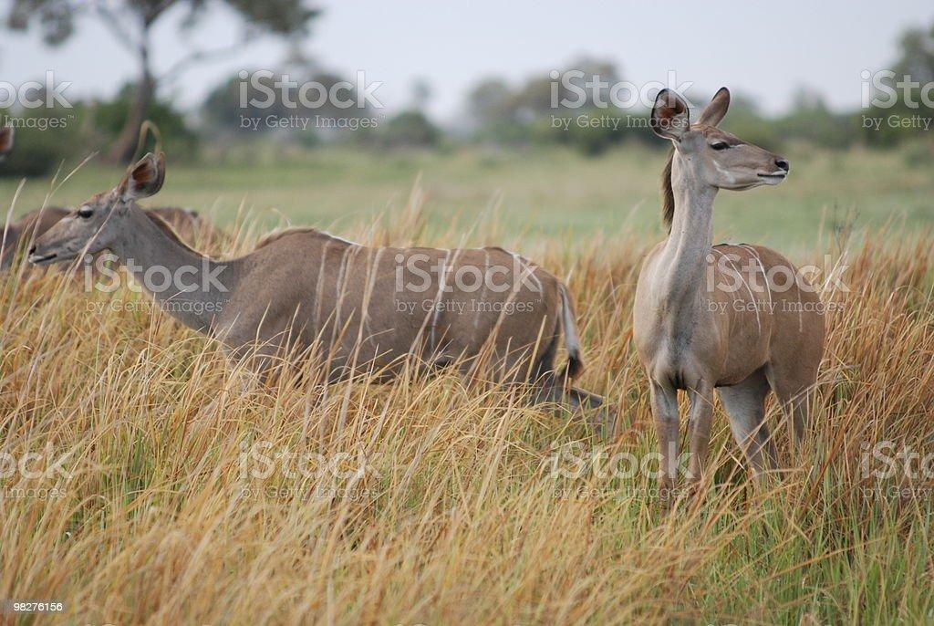 female kudus royalty-free stock photo