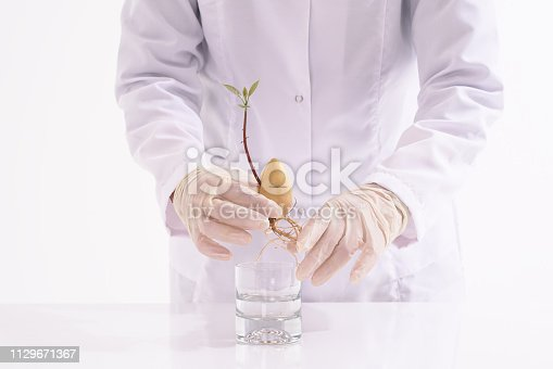 Female laboratory technician verify the quality of avocado seedling