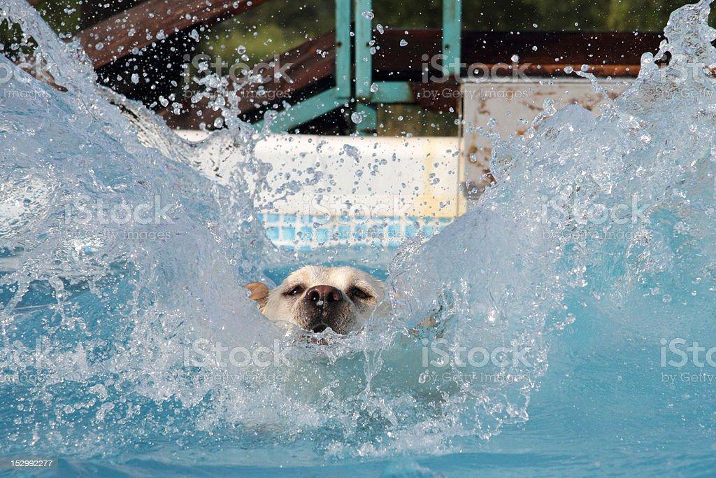 female labrador diving into a pool stock photo