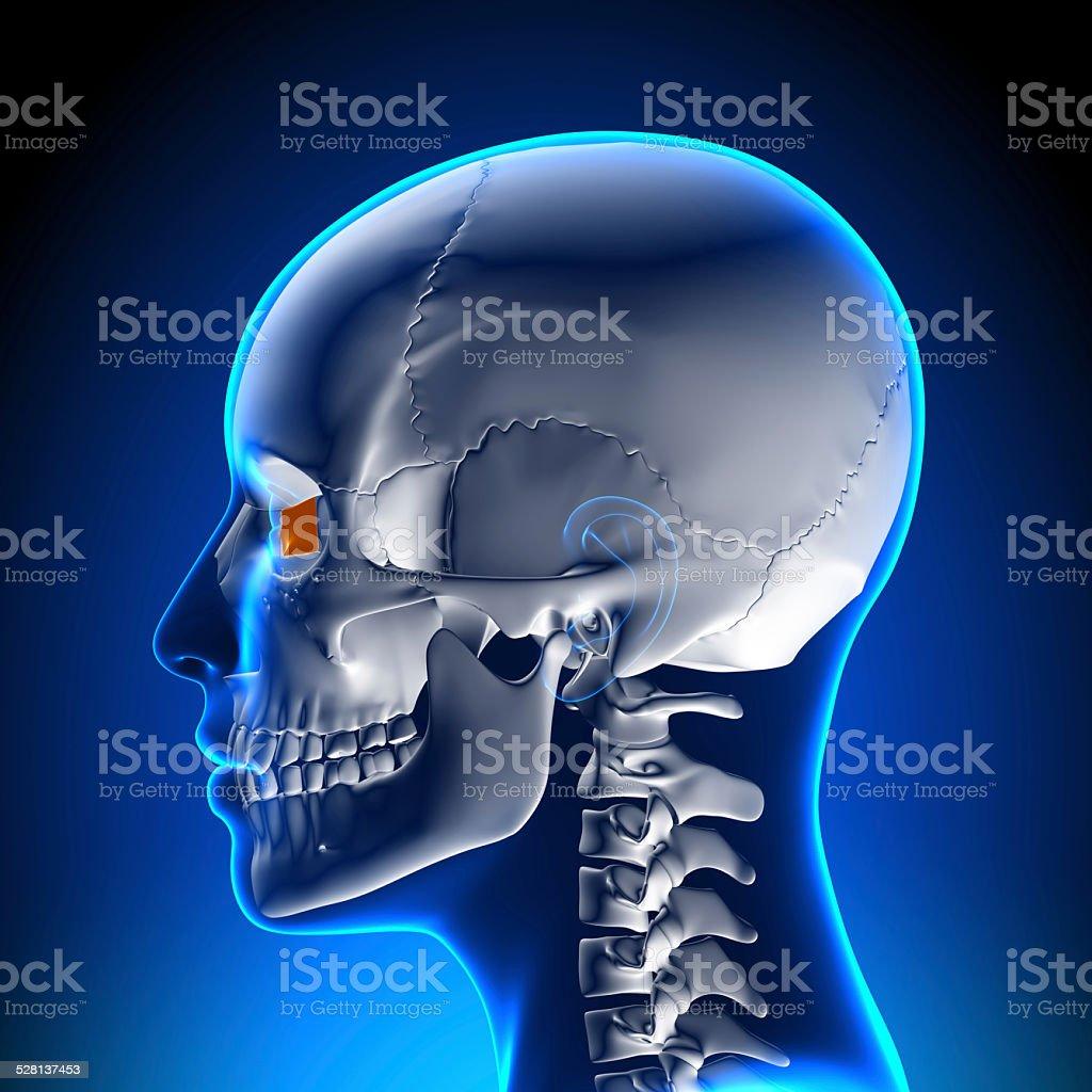 Hembra Lagrimales Los Huesos Del Cráneocráneo Anatomía - Fotografía ...