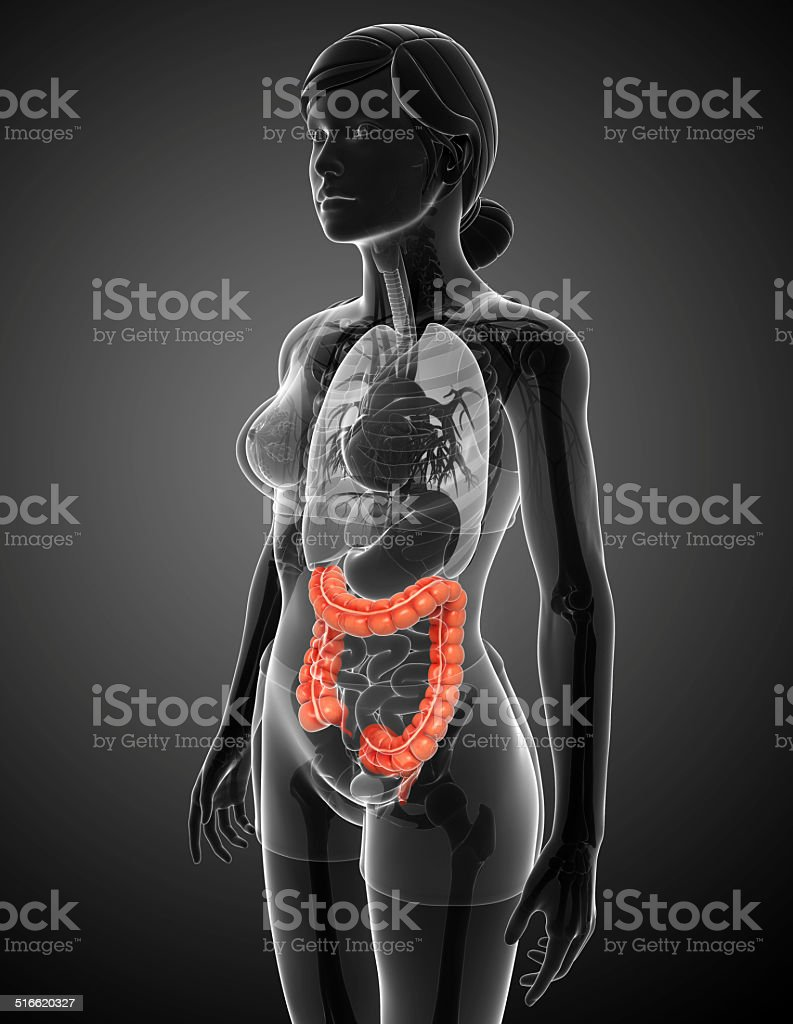 Female Large Intestine Anatomy Stock Photo & More Pictures of ...