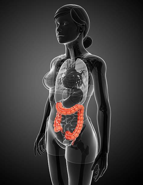 Female large intestine anatomy stock photo