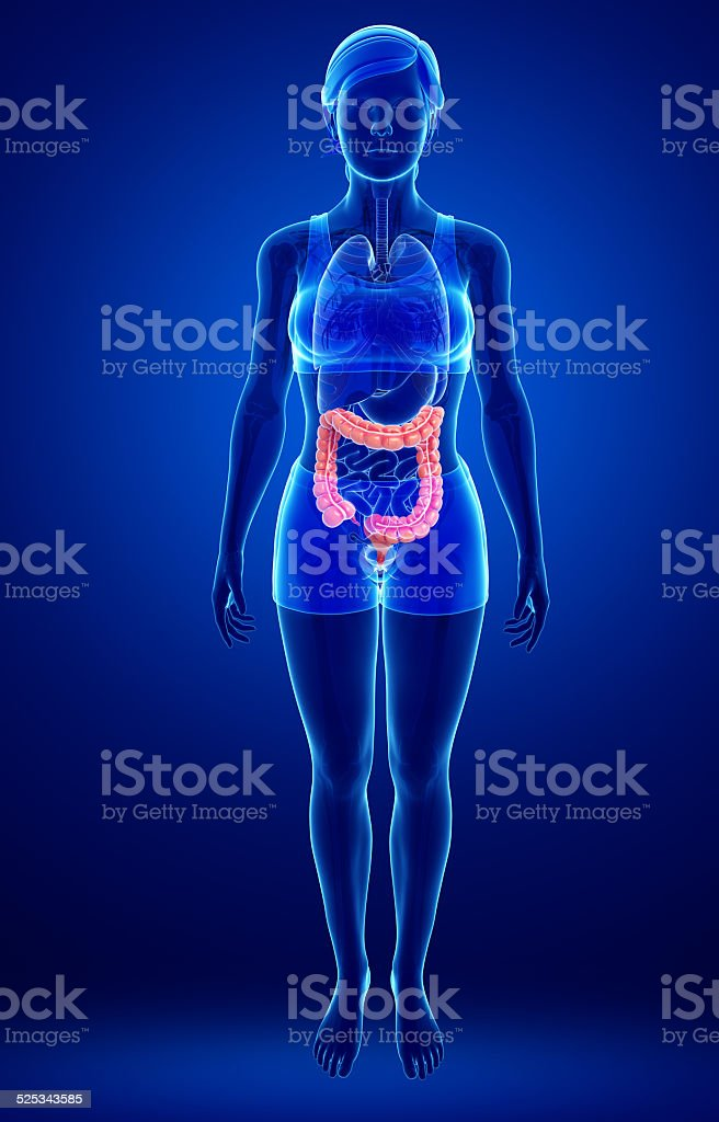 Female large intestine anatomy stock photo