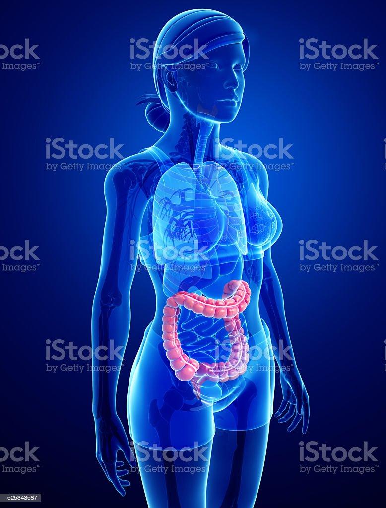 Female Large Intestine Anatomy stock photo | iStock