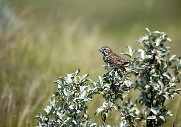 Female Lark Bunting - Grasslands National Park, Saskatchewan stock photo