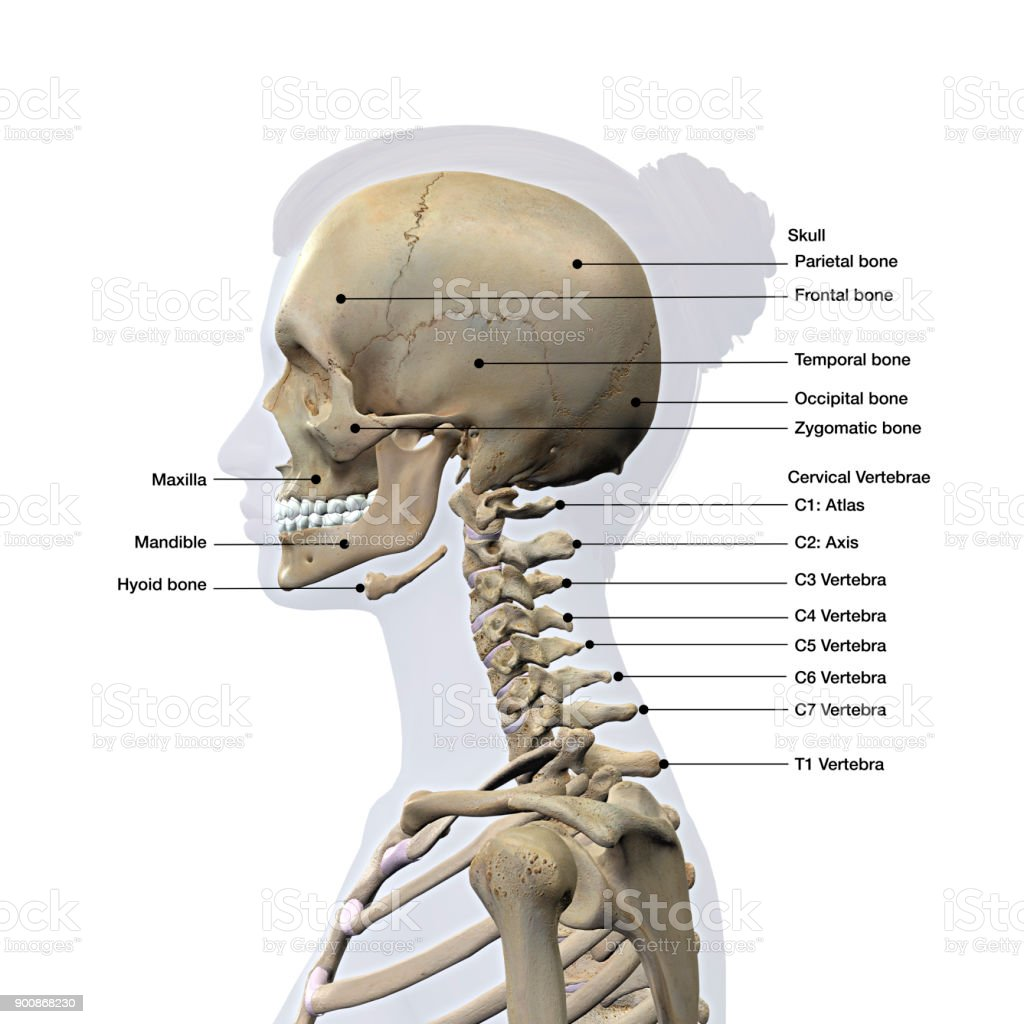 Diagram of neck bones and skull complete wiring diagrams female lateral view of skull and neck vertebrae bones labeled on rh istockphoto com diagram of the 7 c in the neck diagram of your neck ccuart Image collections
