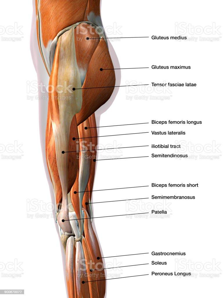 Großartig Alle Beinmuskeln Zeitgenössisch - Menschliche Anatomie ...