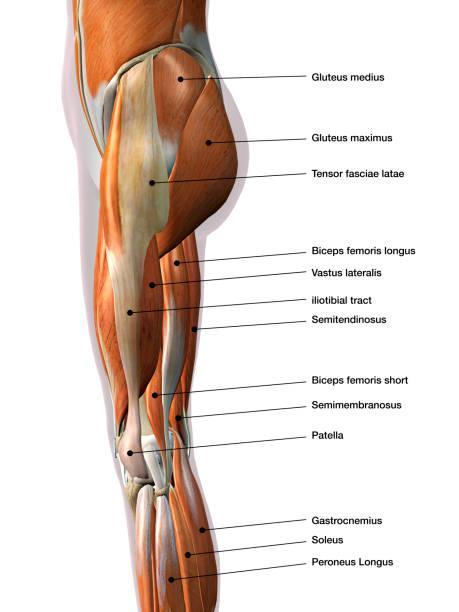 vista lateral de la pierna femenina músculos marcada en blanco - músculo humano fotografías e imágenes de stock