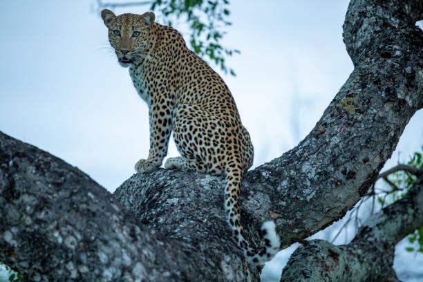 Female leopard in a tree – zdjęcie