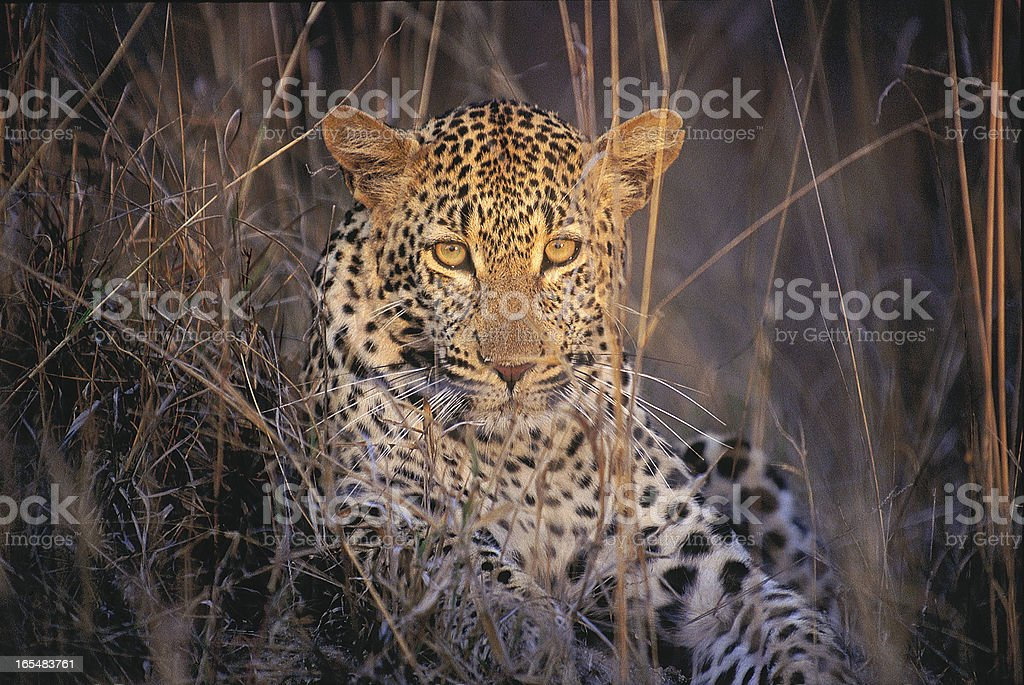 Female leopard in the grass South Africa stock photo