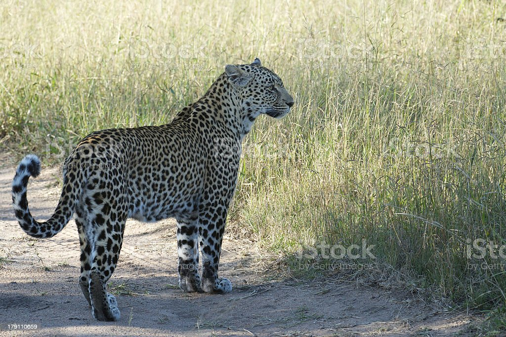Female Leopard Side Shot royalty-free stock photo