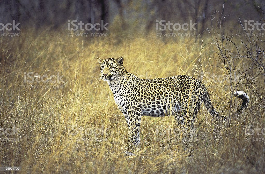Female leopard standing in grass South Africa stock photo
