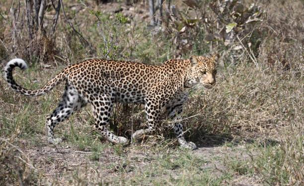 Female Leopard walking in Chobe NP, Botswana
