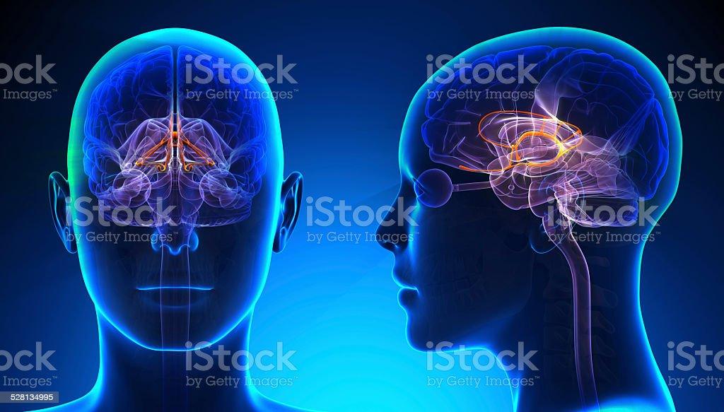 Female Limbic System Brain Anatomy - blue concept stock photo