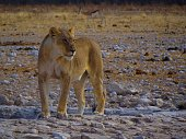 Lioness crossing the road in front of a vehicle,Etosha National Park,Namibia.