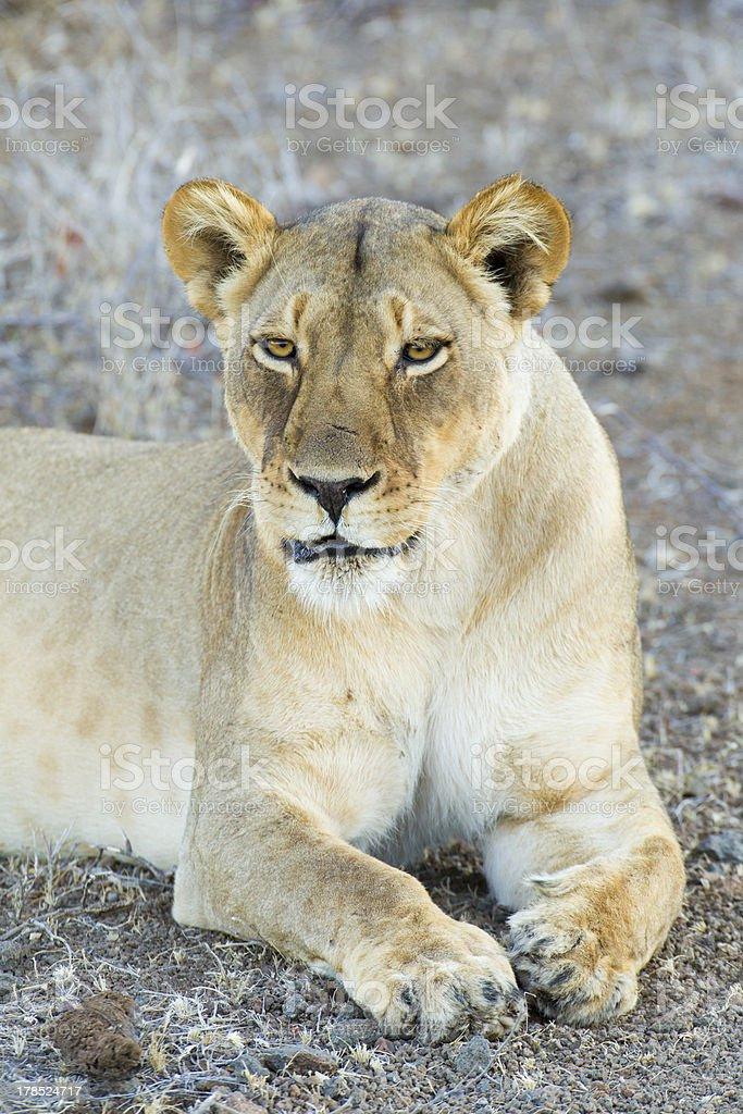 Female Lion (Panthera leo) Botswana royalty-free stock photo