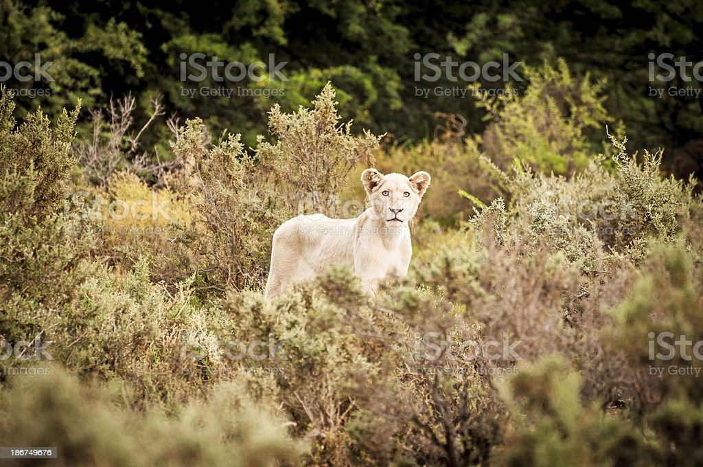 Female Lion Cub in South Africa royalty-free stock photo