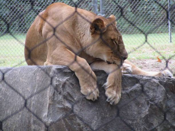Female lion dozing stock photo