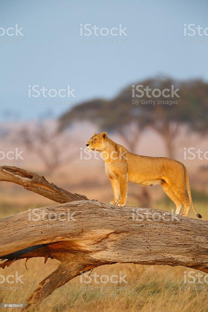 Female Lion in Serengeti National Park, Tanzania Africa stock photo
