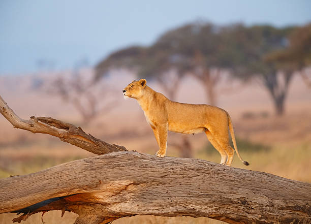 female lion in the serengeti, tanzania africa - lioness stock photos and pictures