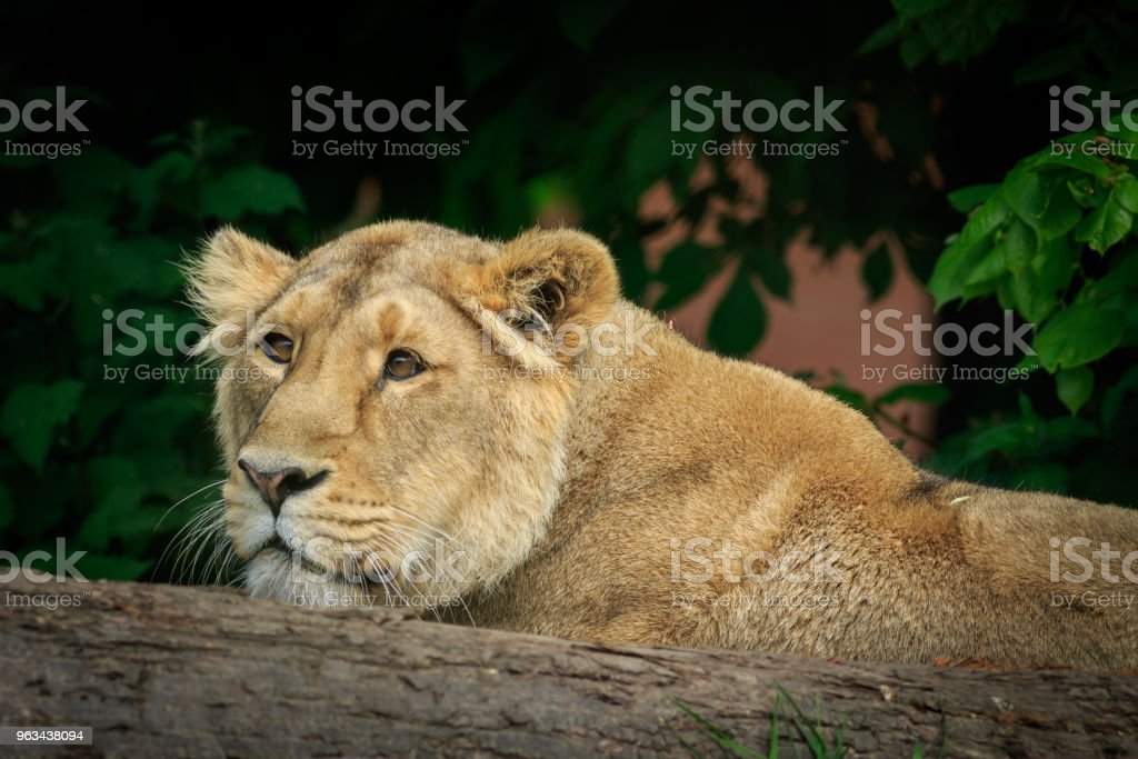 Femme lion - Photo de Afrique libre de droits